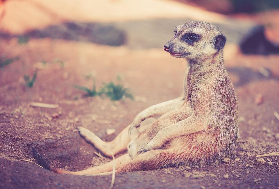 meerkat-459171_960_720