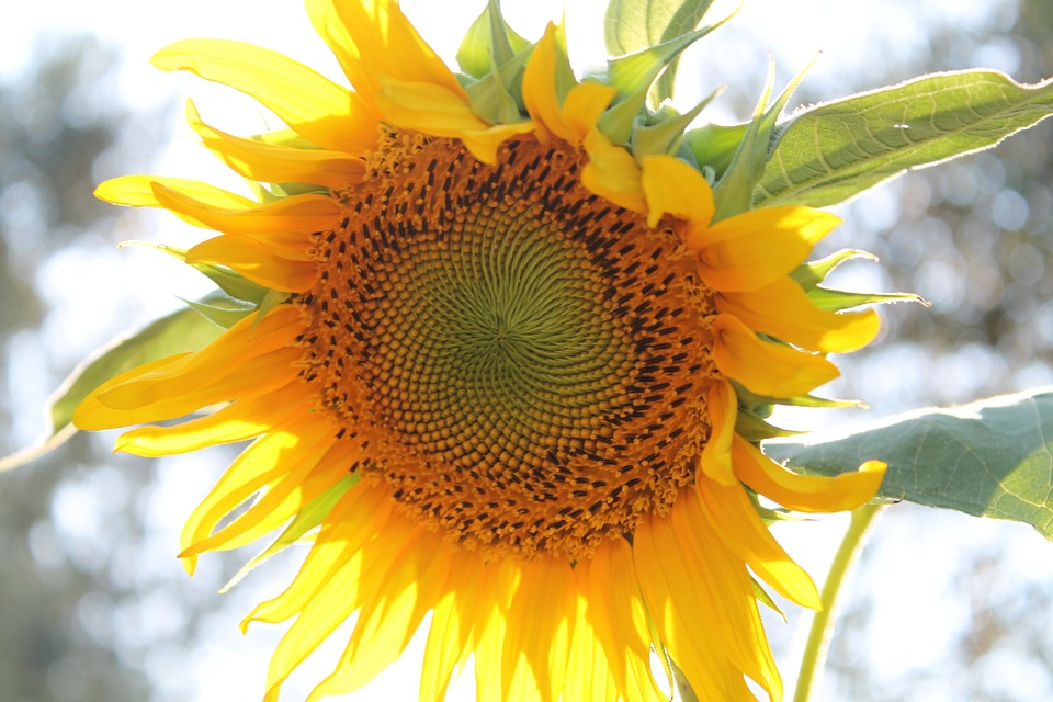 sunflower-840931_960_720